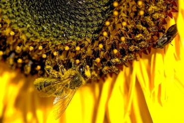 pyłek kwiatowy